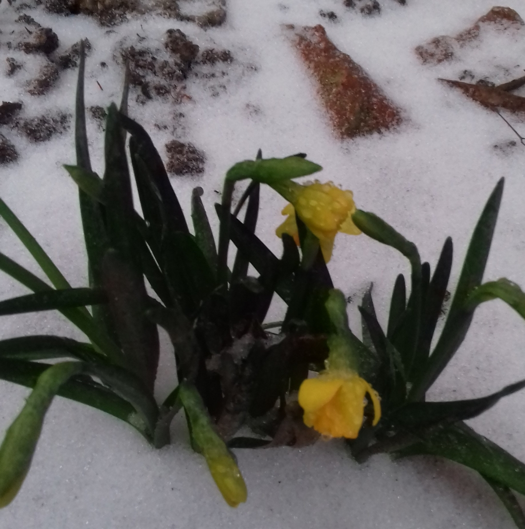 the today of yesterday's daffodil
