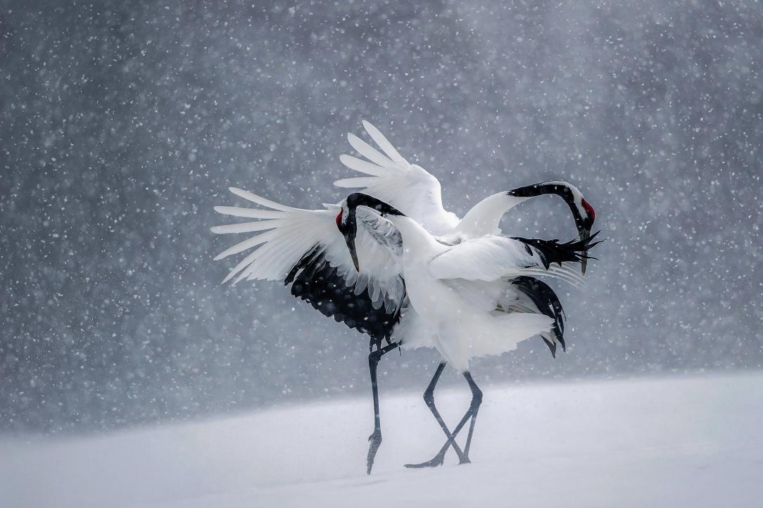 Home-decoration-winter-snow-birds-dance-Japan-cranes-Silk-Fabric-Poster-Print-JZK154