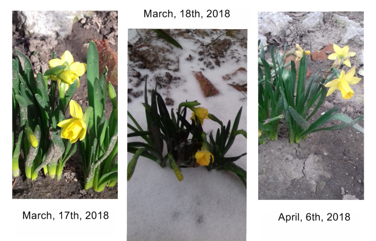 The daffodils strength