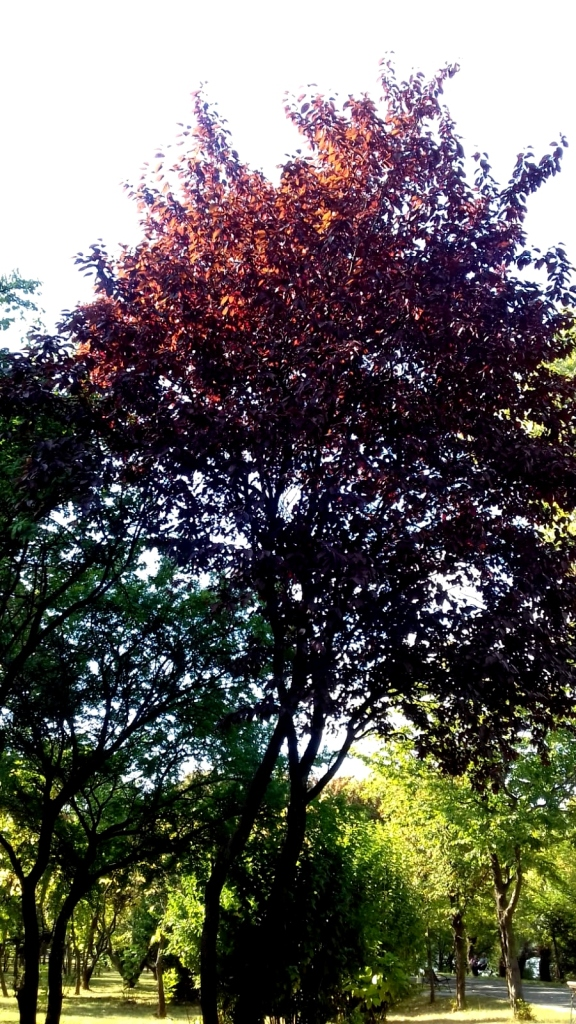 rosul copacului
